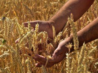 Erntezeit von Getreide