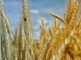 Getreidezeit